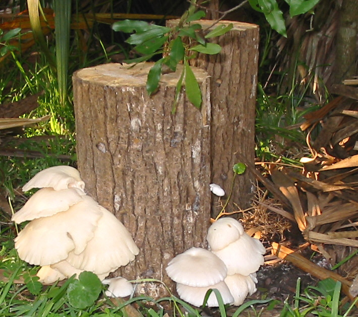 Oyster mushrooms decomposing stump